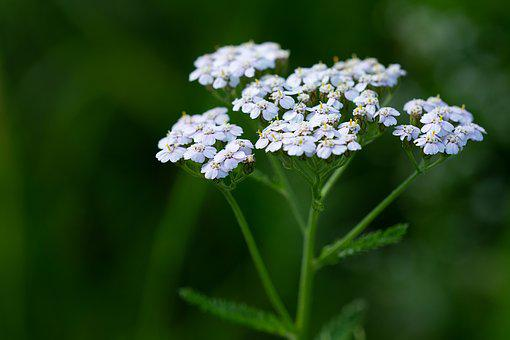Plant, Flowers, White Flowers, Nature, Close Up