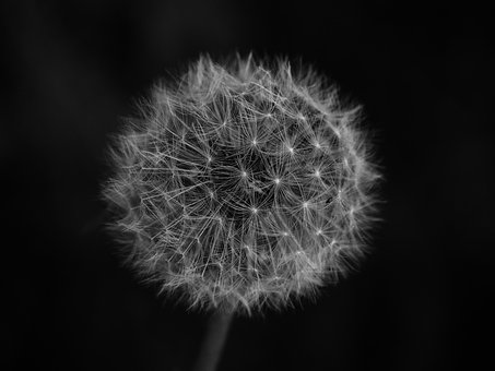 Dandelion, Sw, Black And White, Meadow, Nature