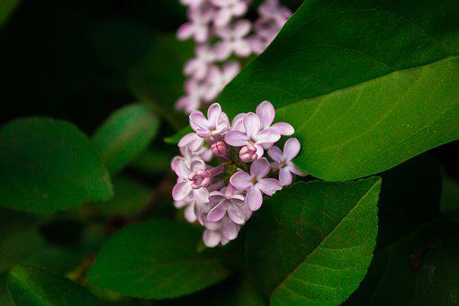 Lilac, Flowers, Purple, Lilac Flowers, Spring, Nature