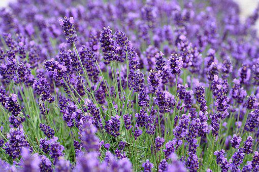 Lavender, Flowers, Roggenhouse, France, Alsace, Nature
