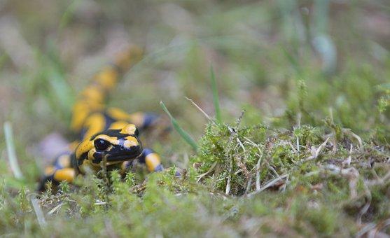 Fire Salamander, Nature, Salamander, Amphibians