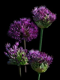 Ball Leek, Ornamental Onion, Nature, Plant, Close, Leek