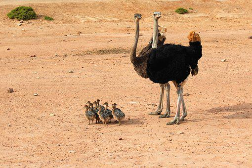 Ostrich, Ostriches, Exotic Animals, South Africa