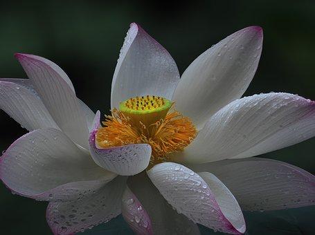 Flower, Lotus Flowers, White, Pink, Purple