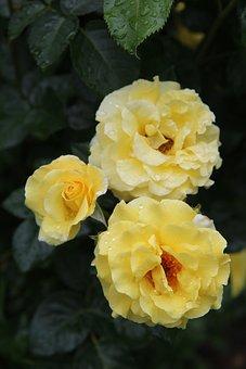 Yellow Rose, Pink, Roses, Rosebush, Flowering