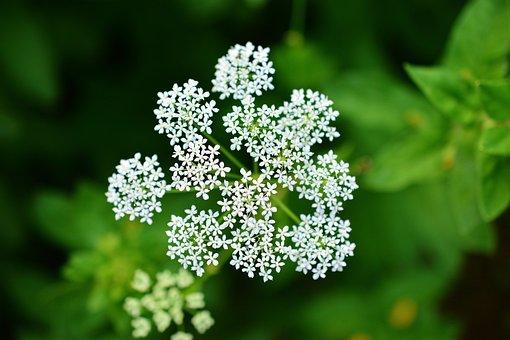 Yarrow, Pointed Flower, Medicinal Herbs