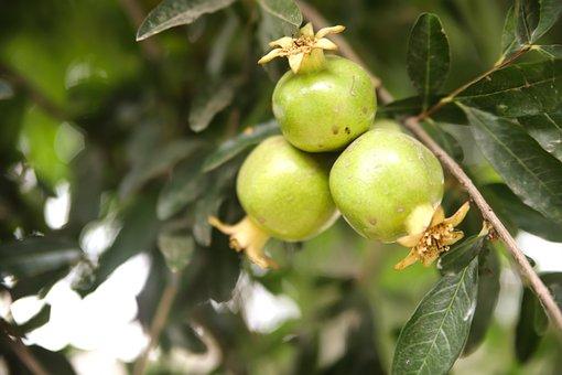 Pomegranate, Pomegranate-raw, Green, Food, Raw, Healthy