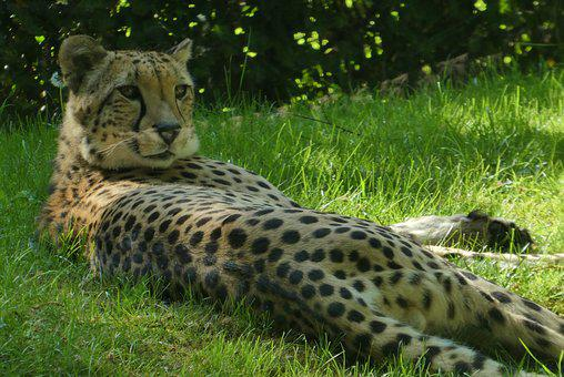 Cheetah, Predator, Zoo, Planckendael, Belgium, Watch