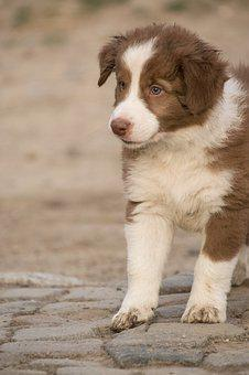 Puppy, Border Collie, Spotted, Small, Reborn, Animal