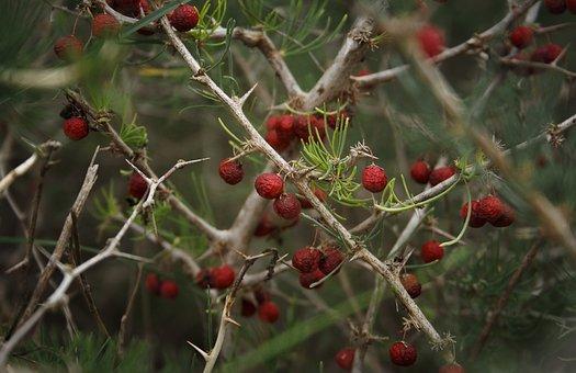 Berry, Nature, Winter, Red Berries