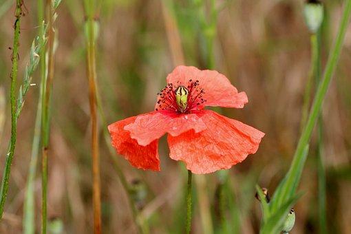 Flower, Red, Petals, Field, Nature, Spring-flowering
