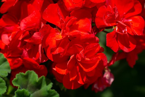 Geranium, Red, Red Geraniums, Flowers, Red Flowers