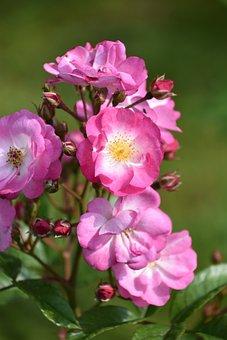 Pink, Flower, Rosebush, Flowering, Rosary, Pink Flowers