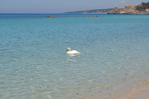 Cigno, Sea, Swan, Nature, Cygnus, Beach