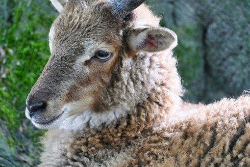 Sheep, Animal, Wool, Livestock, Sheep Face, Head