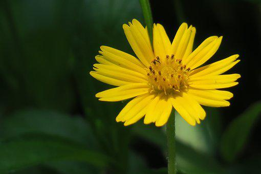 Small Yellow Daisy, Plant, Flower, Bloom, Light