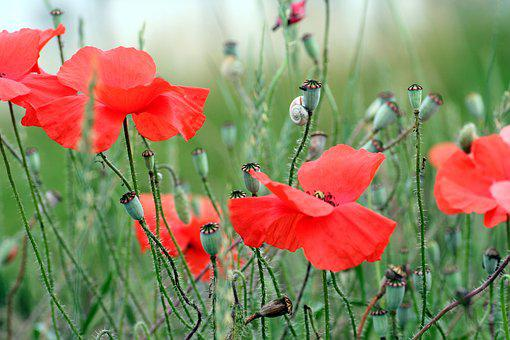 Poppy, Red, Snail, Spring, Flower, Nature, Petals