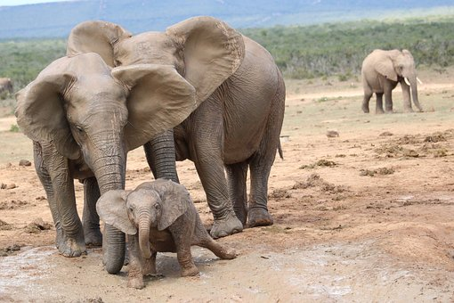 South Africa, Elephant, Addo National Park