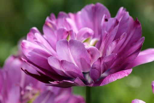 Tulip, Flower, Spring, Nature, Lilac, Bloom, Garden