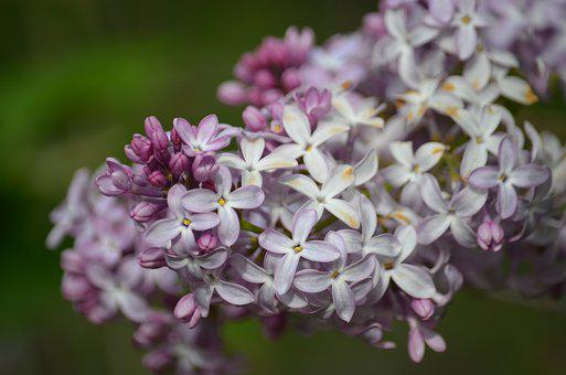 Lilac, Close Up, Nature, Spring, Flower, Floral, Blooms