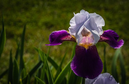 Iris, White Eggplant Color, Flower, Spring