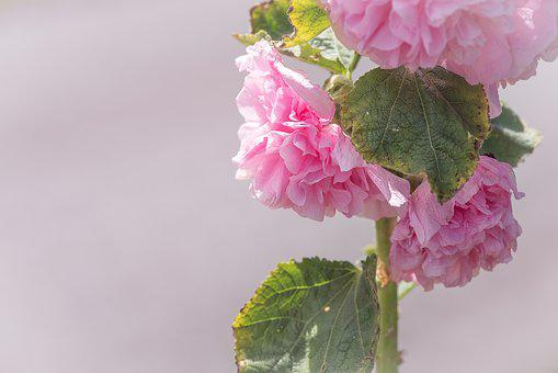 Stock Rose, Pink, Pink Hollyhock, Flower, Blossom