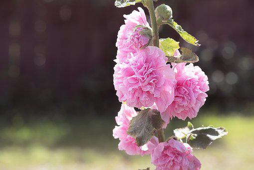 Stock Rose, Pink, Pink Hollyhock, Flower, Pink Flower