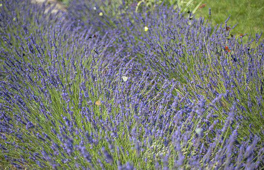 Lavender, Flowers, Butterflies, Field, Summer, Violet