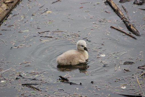 Swan, Duck, Hatching, Young Animal, Fauna, Animal World