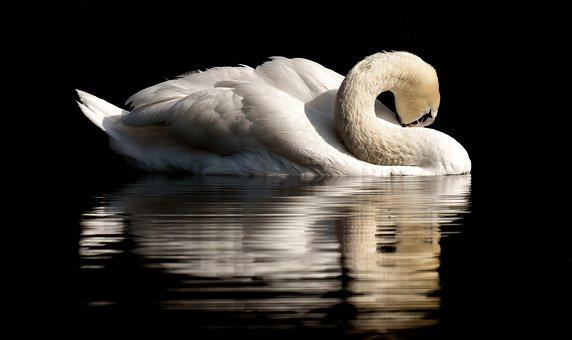 Swan, Feather, Plumage, Water Bird, Nature, Animal