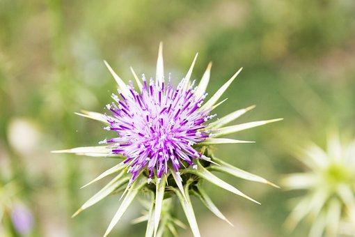Thistle, Lilac, Wild Flower, Beauty, Plant Wildlife