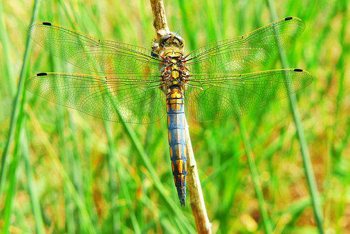 Lecicha Total, Tom, Animals, Dragonflies Różnoskrzydłe