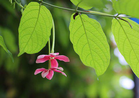 Quisqualis Indica L, Flower, Pink, Green, Tree, Leave