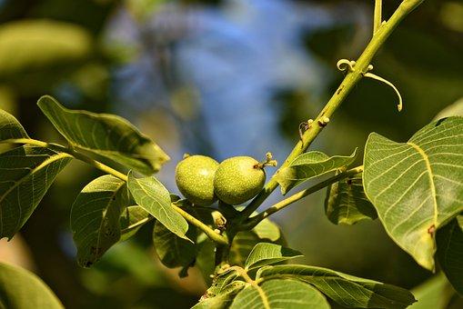 Walnuts, Walnut Tree, Nuts, Stone Fruits