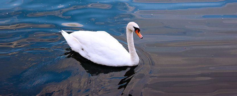 Swan, Lake, Water, Swans, Animal, Nature, Flight