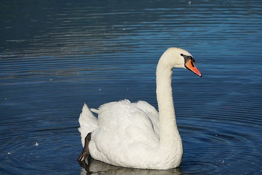 Swan, Lake, Walensee, White, Water, Feather, Peaceful