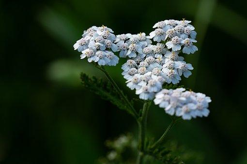 Yarrow, Plant, Blossom, Bloom, White, White Blossom