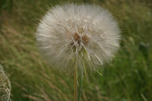 Dandelion, Flower, Wild Flowers, Nature, Close