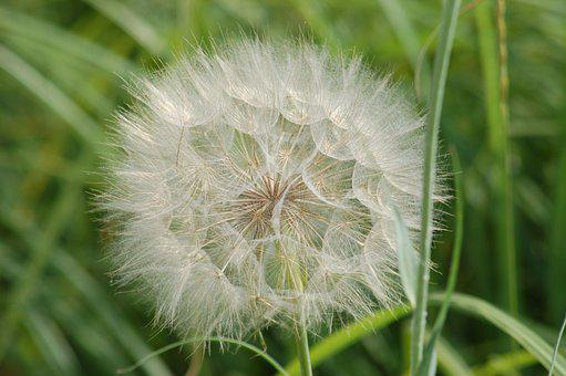 Head Giant, Dandelion, Wild Flowers, Wild Flower
