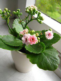 Kalanchoe, Flower, Pink, Green, White, Window Band