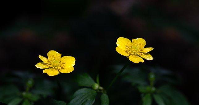 Buttercup, Yellow, Flower, Yellow Flower, Flowers