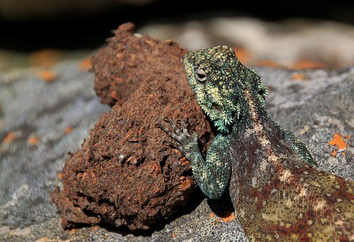 Agame, Farbbartagame, Schuppenkriechtier, Reptile