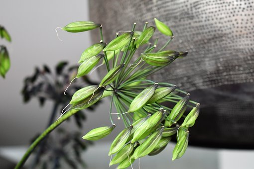Agapanthus, Plant, Flower, Lily, Close Up, Faded, Lamp