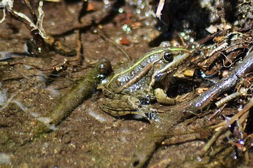 Frog, Gerardo, Water, Nature, Animal, Amphibian