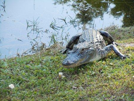 Alligator, Animal, Hir, Nature, Foot, Dangerous