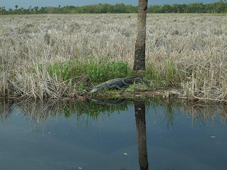 Alligator, Everglades, Crocodile, Animal, Hir