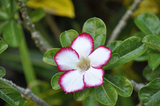 Oleander, Blossom, Bloom, Garden, Botanical Garden