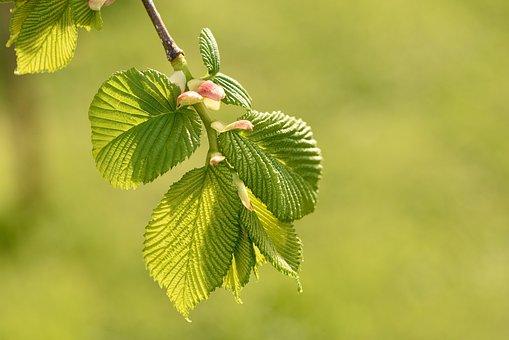 Hanging Elm, Leaves, Green, Juicy, Branch, Spring