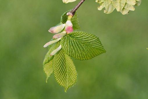 Leaves, Branch, Hanging Elm, Close, Engine, Spring