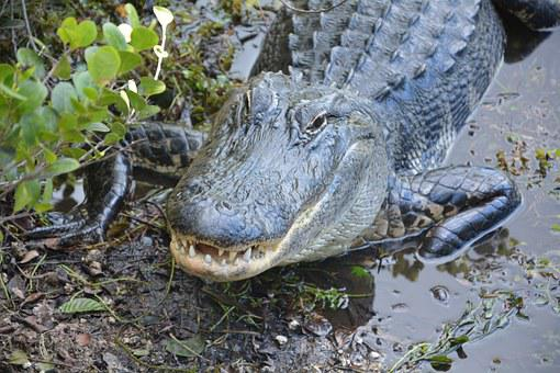 Alligator, Crocodile, Dangerous, Hir, Everglades